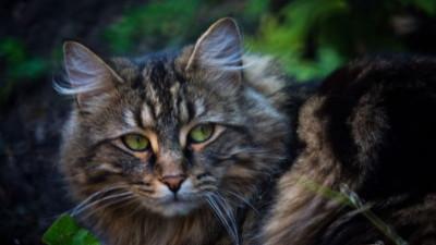 Czy kot domowy to gatunek czy podgatunek?