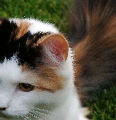 Dlaczego kot macha ogonem?