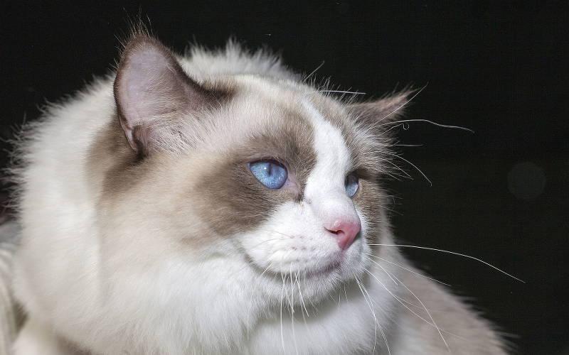 Kot rasowy czy nierasowy?