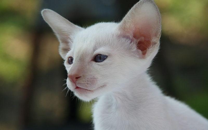 Kot rasowy = Kot rodowodowy