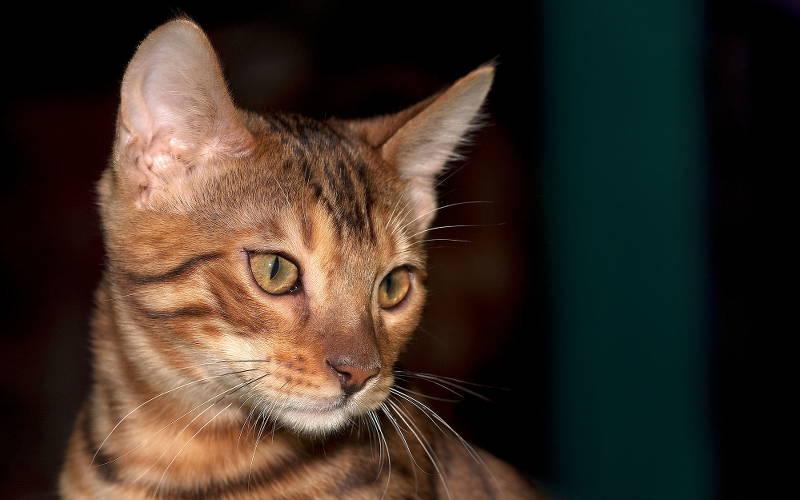 Wystawy Kotów Rasowych