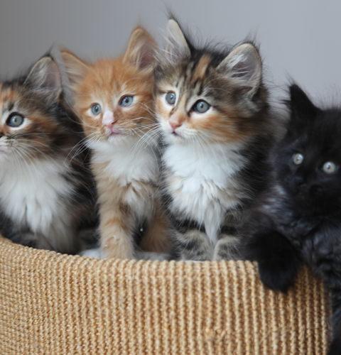 Geny koloru włosów u kotów