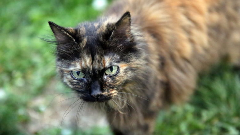Szylkretowe umaszczenie u kotów