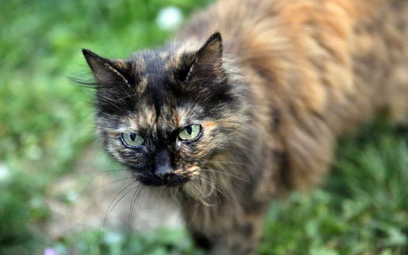 Szylkretowe Umaszczenie U Kotów Wszystko O Kotach