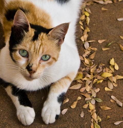 Umaszczenia u kotów