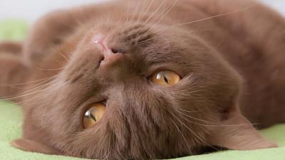 Cynamonowe umaszczenie u kotów