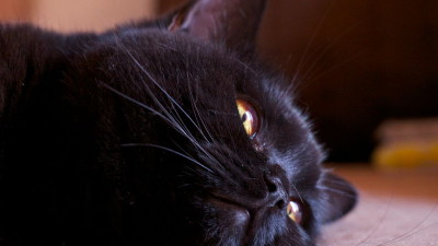 Czarne umaszczenie u kotów
