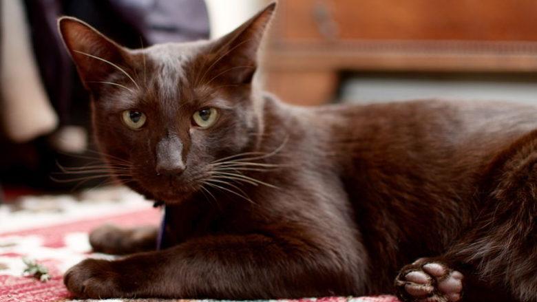 Czekoladowe umaszczenie u kotów