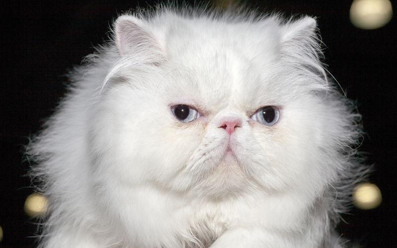 Kot Perski Wszystko O Kotach