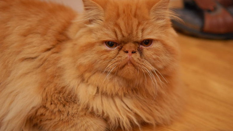 Rude umaszczenie u kotów