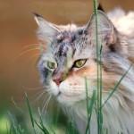 Udomowienie kota