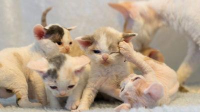 Czy każdy może być hodowcą kotów?