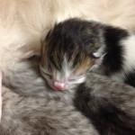 Czy kocięta rywalizują o matczyne sutki?