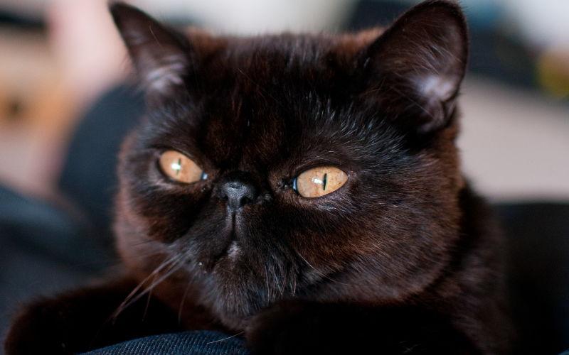 Dziedziczenie umaszczenia jasnego i ciemnego u kotów