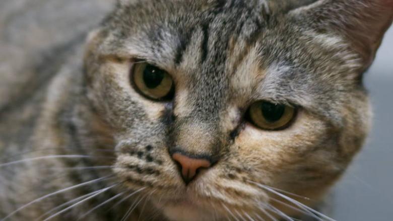 Dziedziczenie umaszczenia szylkretowego kotów