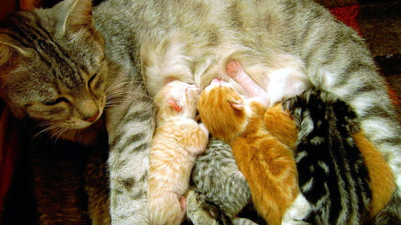 Jak kocięta odnajdują sutki matki?