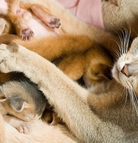 Jak założyć hodowlę kotów rasowych?