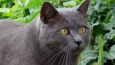 Jednolite umaszczenia u kotów
