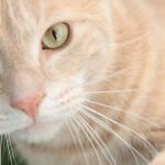 Kremowe umaszczenie u kotów