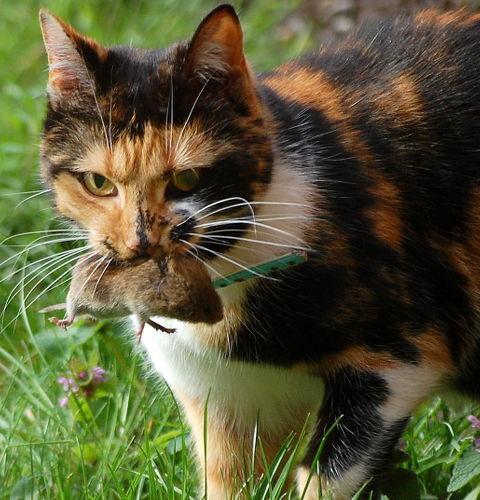 Dlaczego koty przynoszą nam martwe zwierzątka?