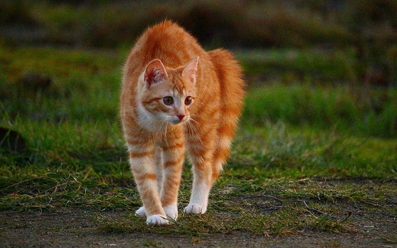 Dlaczego koty robią koci grzbiet?