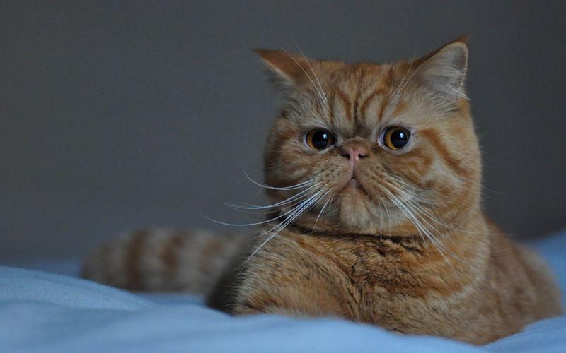 Kot Egzotyczny Wszystko O Kotach