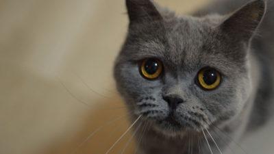 Niebieskie umaszczenie u kotów