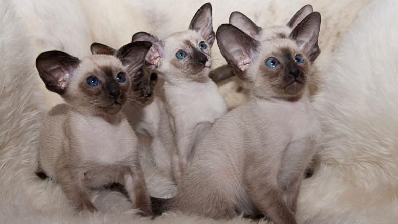 Skąd się biorą rasy kotów?
