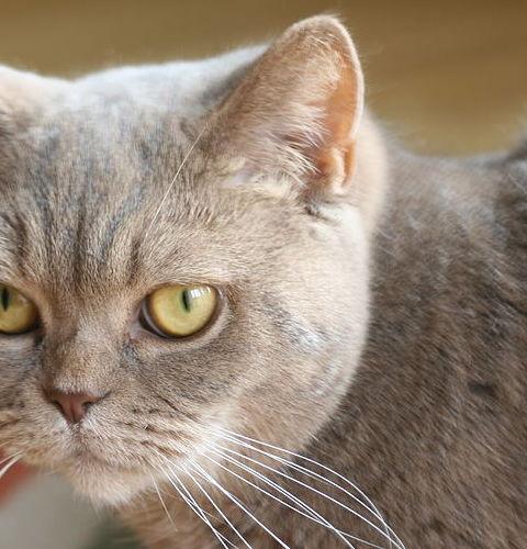 Liliowe umaszczenie u kotów