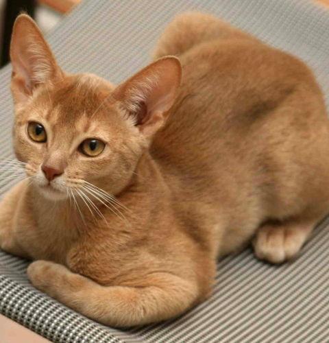 Płowe umaszczenie u kotów