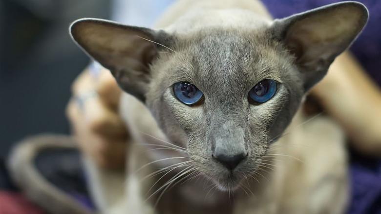 Syjamskie umaszczenie u kotów