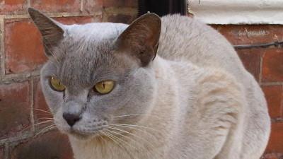 Burmskie umaszczenie u kotów