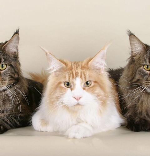 Karmy dla kotów rasowych