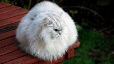 Srebrzyste umaszczenie u kotów