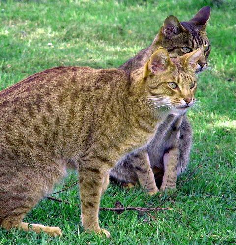 Tabby umaszczenie u kotów