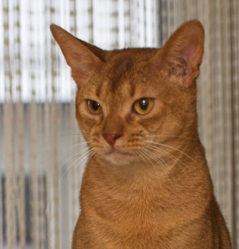 Dziedziczenie umaszczenia cynamonowego u kotów