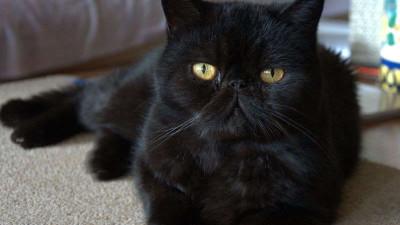 Dziedziczenie umaszczenia czarnego u kotów