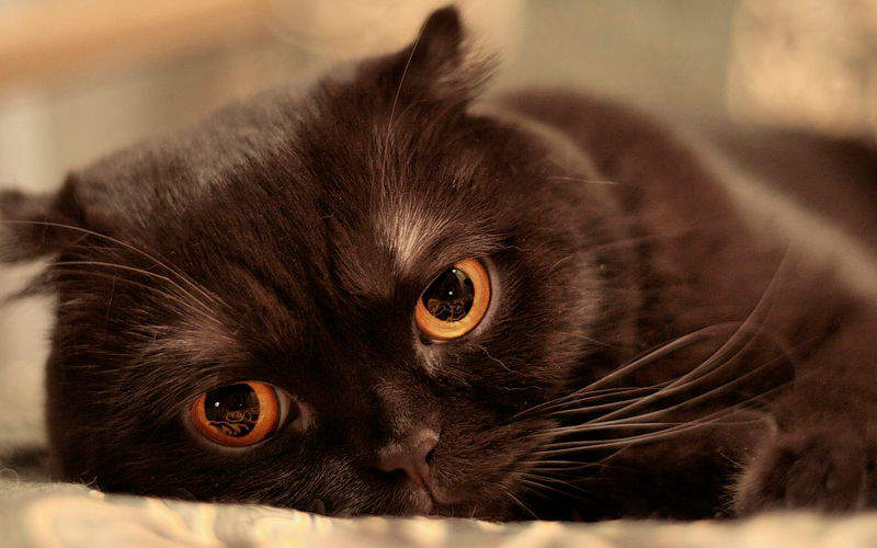 Dziedziczenie umaszczenia czekoladowego u kotów