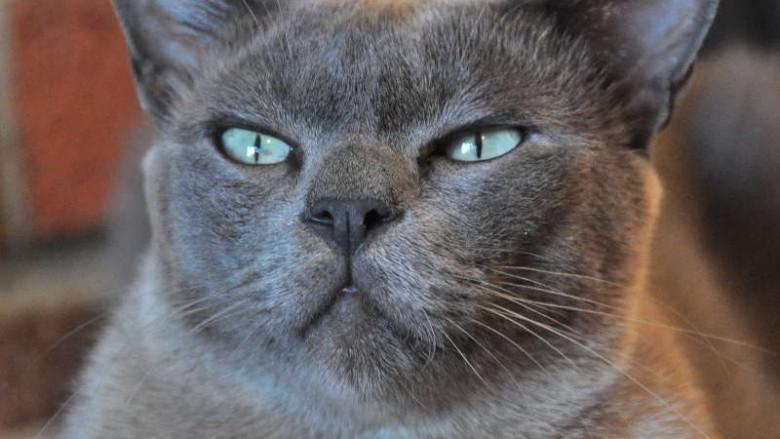 Dziedziczenie umaszczenia niebieskiego u kotów