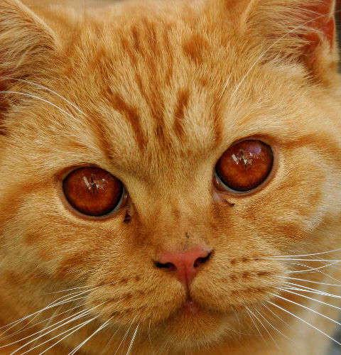 Dziedziczenie umaszczenia rudego u kotów