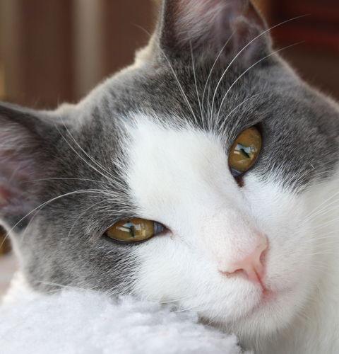 Łaciate umaszczenie u kotów