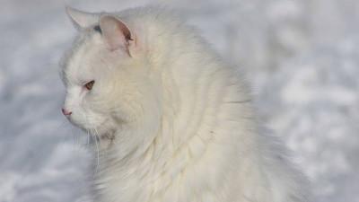 Dziedziczenie umaszczenia białego u kotów