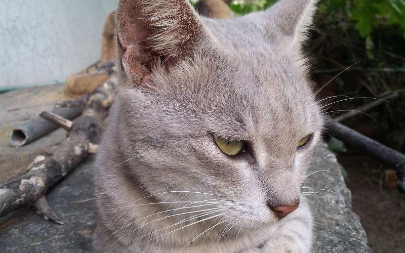 Dziedziczenie umaszczenia liliowego u kotów