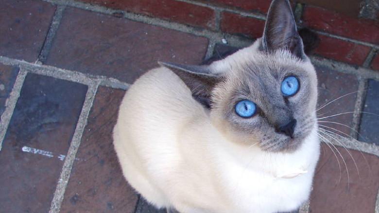 Dziedziczenie umaszczenia syjamskiego u kotów