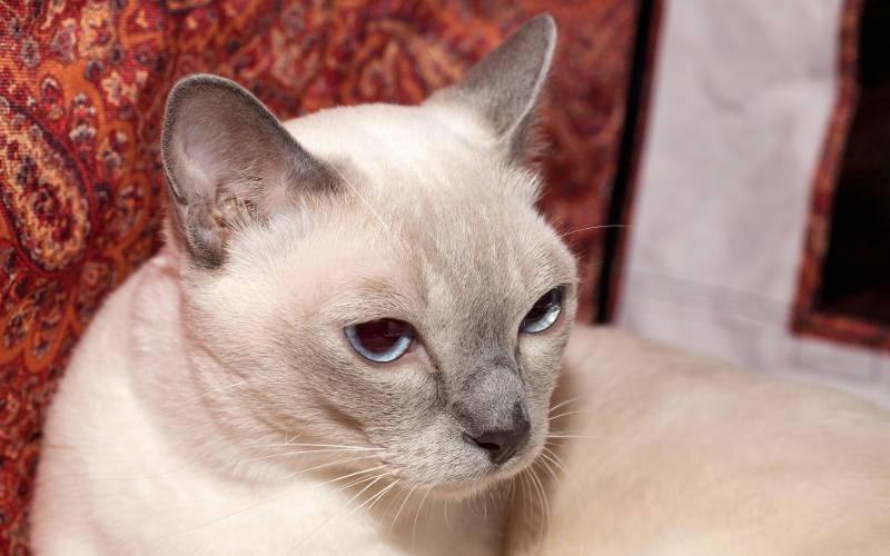 Tonkijskie umaszczenie u kotów