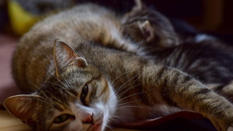 Instynkt macierzyński u kotów