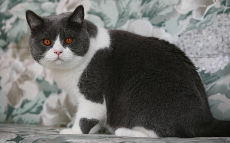 Kot Brytyjski Krótkowłosy Wszystko O Kotach