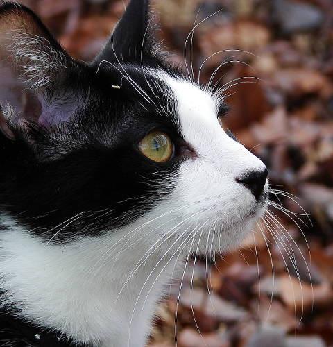 Dziedziczenie umaszczenia łaciatego u kotów