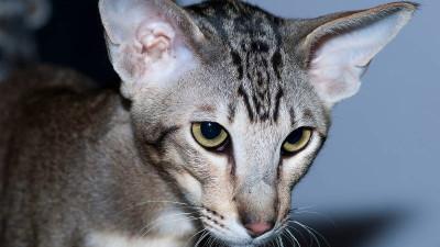 Dziedziczenie umaszczenia tabby u kotów
