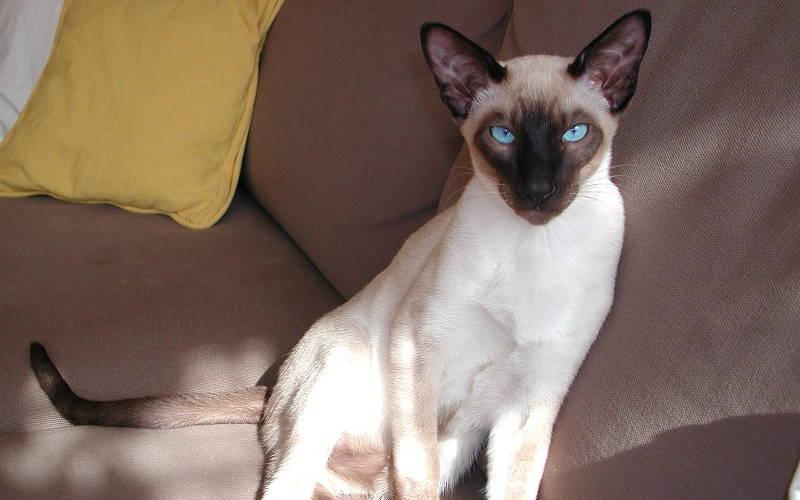 Typy sylwetki u kotów